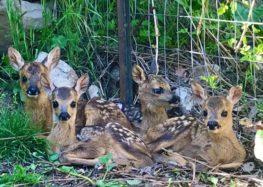 Άλλα δύο νεογέννητα ζαρκάδια θα φροντίζει ο Αρκτούρος – Τέσσερα συνολικά βρίσκονται σε ειδικό χώρο του Περιβαλλοντικού Κέντρου