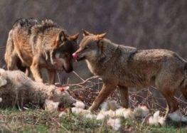 Επίθεση λύκων σε αυλή σπιτιού στους Λόφους