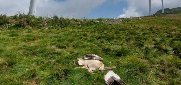 Τρεις νεκροί πελεκάνοι στο όρος Βαρνούς του δήμου Πρεσπών, κοντά σε ανεμογεννήτρια