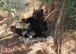 Εγκλωβισμός αρκούδας σε παγίδα (pics)