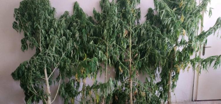 Συνελήφθη 62χρονος για καλλιέργεια δενδρυλλίων κάνναβης και κατοχή ναρκωτικών ουσιών σε περιοχή της Φλώρινας