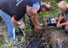 Η Αποκεντρωμένη Διοίκηση για τον εντοπισμό της παγιδευμένης αρκούδας – Ναρκώθηκε και μεταφέρθηκε στο δάσος της Κλαδορράχης (pics)
