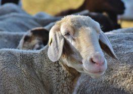Δωρεάν διάθεση εμβολίων καταρροϊκού πυρετού σε κτηνοτρόφους της ΠΕ Φλώρινας