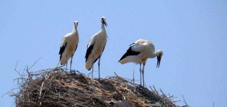 Αίτημα άμεσης επανατοποθέτησης φωλιάς πελαργού στη Μελίτη