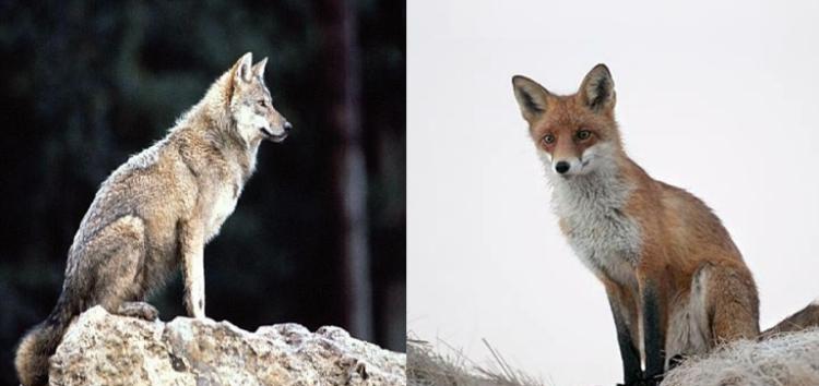 Αλώπηξ και Λύκος (επί του δάσους μάχονται)
