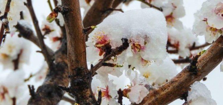Αγροτικός Σύλλογος Περιοχής Αμυνταίου:  Κανένα αίτημα σχετικά με τους παγετούς δεν έχει γίνει δεκτό από τον ΕΛΓΑ