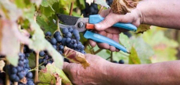 Ο Αγροτικός Συνεταιρισμός Ευρύτερης Περιοχής Αμυνταίου ενημερώνει για το μέτρο πρώιμης συγκομιδής σταφυλιών