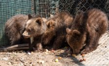 Ο Αρκτούρος δίνει μία δεύτερη ευκαιρία στη φύση σε έξι ορφανά άγρια ζώα (videos, pics)