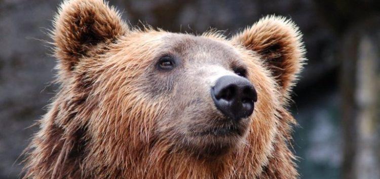 Αυξημένη κινητικότητα αρκούδων σε κοινότητες των δήμων Φλώρινας και Αμυνταίου