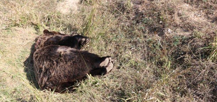 Νεκρή αρκούδα από πυροβολισμό στην Πρέσπα (pics)