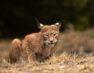 Λύγκας: Ο άγνωστος «τίγρης» της Ευρώπης στο Κέντρο Προστασίας του Αρκτούρου (video, pics)