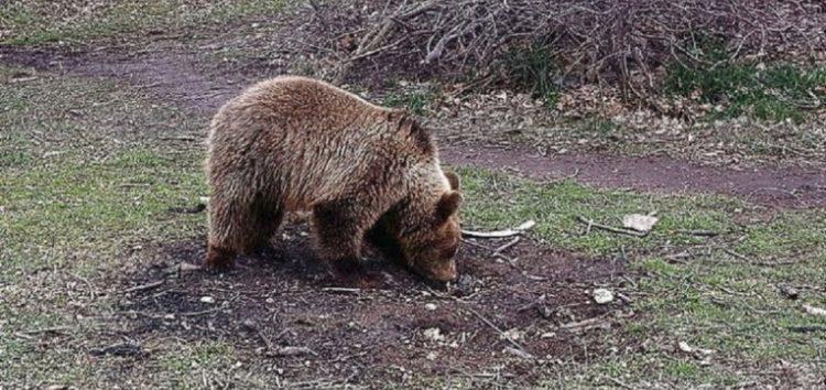 Η απάντηση του ΕΛΓΑ, σε ερώτηση της Ελληνικής Λύσης, για τις αποζημιώσεις παραγωγών λόγω ζημιών από επιδρομές αρκούδων